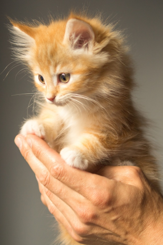 animal-cute-kitten-cat