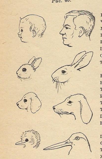 Детские черты внешности, вызывающие родительские чувства у взрослых, одинаковы у разных видов животных (укороченная лицевая часть, выпуклый лоб, круглые глаза и пухлые щеки). Рисунок из книги Н. Тинбергена «Поведение животных», 1969)