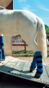 5 способов погрузить лошадь в коневоз