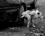 ПОЧЕМУ собаки писают на колеса машин?