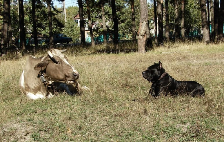 dog and cow