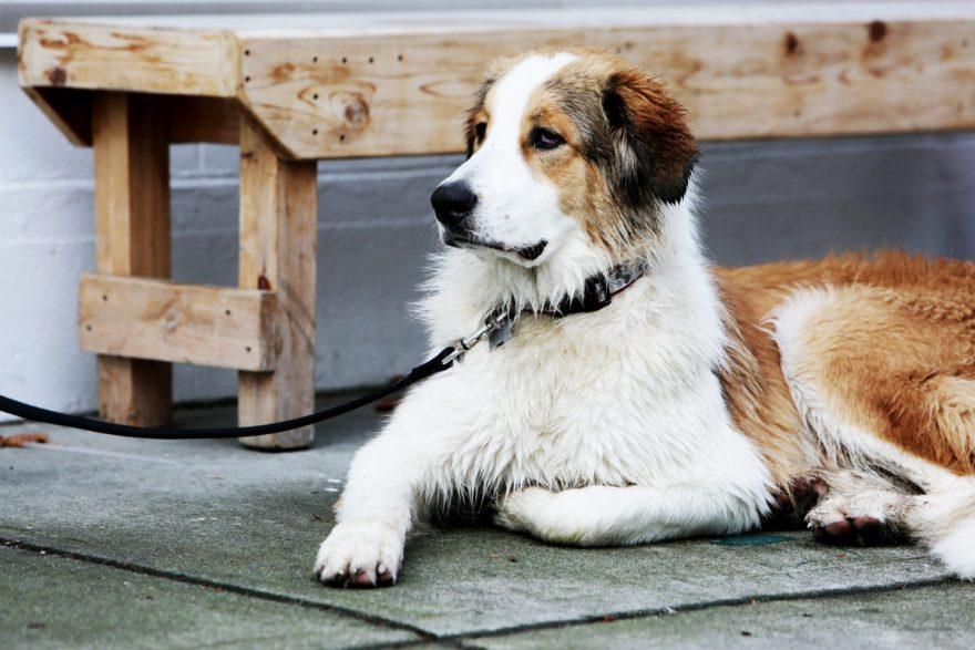 Life-of-Pix-free-stock-dog-portrait-leash-LEEROY-1440x960-880x587