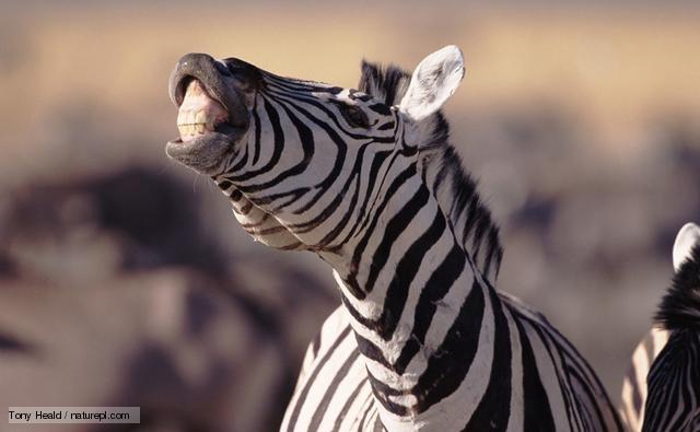 вомер зебра
