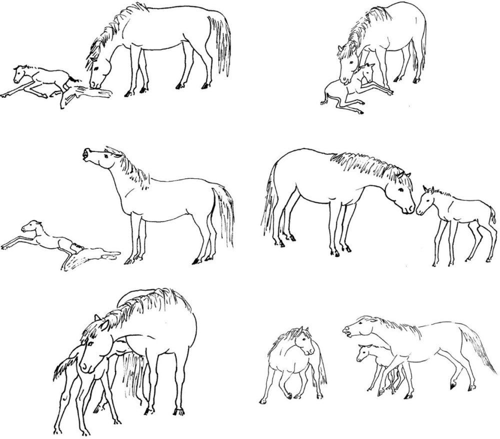 вомер лошади