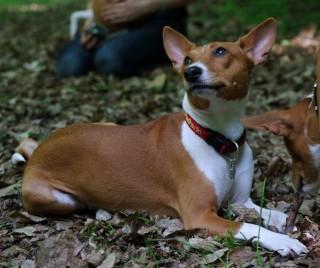 Характер собак породы басенджи