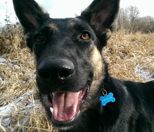"""Груня, овчароподобная, моя личная собака с подмосковной стройки, """"бывшедикая"""" ))"""