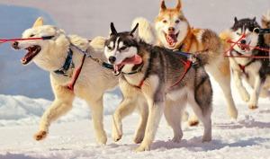 huskies_in_snow
