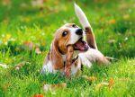 Sobaka-beagle-07
