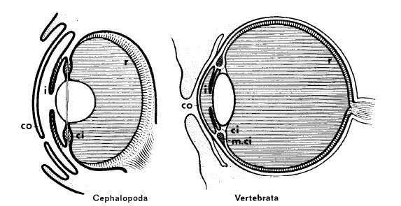 Рис.2. Детальная аналогия двух независимо развивавшихся световоспринимающих органов; слева – глаз осьминога, справа – глаз человека. co - Cornea (роговица); ci - Corpus ciliare (ресничное тело); m.ci - musculus ciliaris (ресничная или цилиарная мышца); i- зрачок; r – сетчатка.