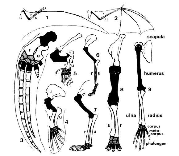 Рис. 3. Передняя конечность позвоночных. 1. Летающая рептилия юрского периода. 2. Летучая мышь. 3.Кит. 4. Морской лев. 5. Крот. 6. Собака. 7.Медведь. 8. Слон. 9. Человек. Плечевая и пястные кости обозначены черным, кости запястья - серым.