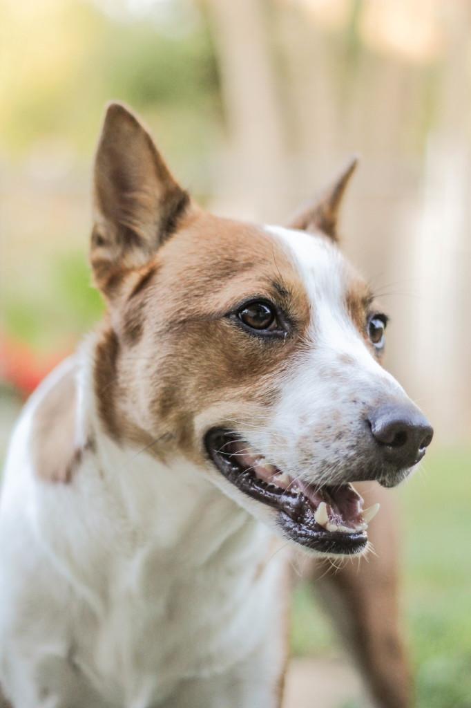 Эта собака выглядит активной, но спокойной и уверенной в себе: пасть открыта, но не слишком, уши приподняты, глаза не отведены в сторону.
