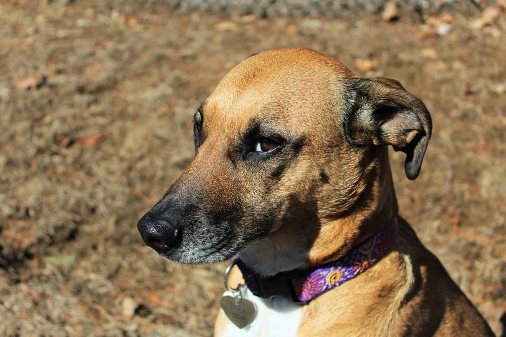 Этот хитрый прищур - удачно пойман фотографом, в реальности он не отражает характера собаки.