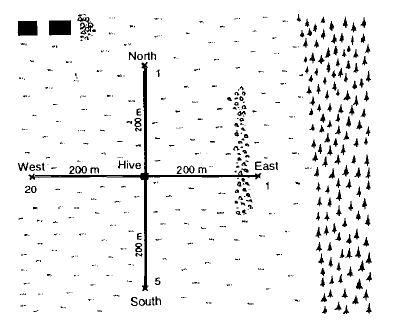 Рисунок 10. Улей на рис. 9 переносится на место, не знакомое пчелам. Небольшие кормовые платформы со знакомым запахом были расставлены в 200 м от улья в каждом из четырех направлений. Числа соответствуют количеству прибывающих пчел в экспериментальной группе.