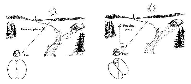 Рис. 3. Указание направления танцем с вилянием брюшком. (Слева), цель находится в направлении солнца; (справа), цель находится в 40° влево от положения солнца. Фигуры танца, увеличенные, показаны в левой нижней части рисунков.
