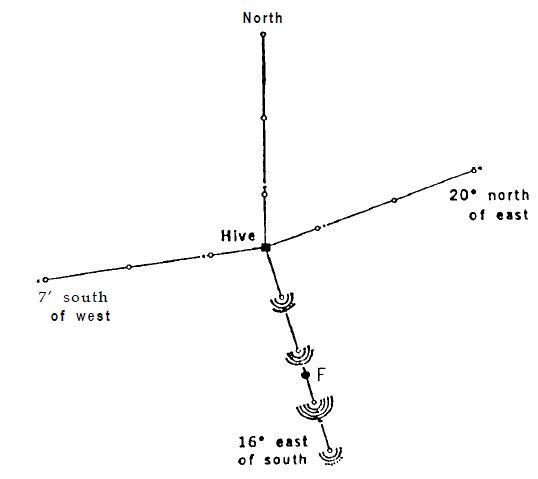 Рисунок 7. Улей, установленный в вертикальное положение после эксперимента на рис. 6. Теперь танцы указывают направление на место кормления. В течение 10 минут поток новичков устремляется в этом направлении. Полеты в остальные три стороны прекращаются.