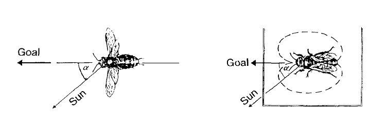 Рисунок 8. Принцип указания направления во время танца на горизонтальной плоскости. Пчела (справа) при движении с вилянием брюшком располагается так, что она смотрит на солнце под тем же углом, что и во время предшествующего полета в место для кормления (слева).