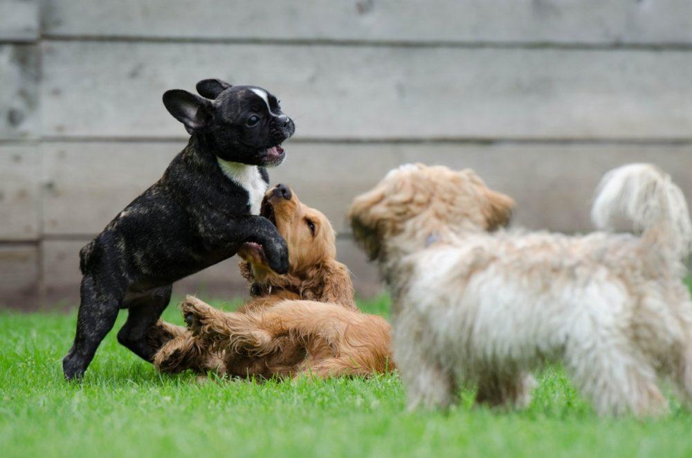 Как проводить группы социализации для щенков? (puppy classes)