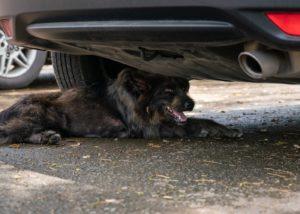 Что делать, если собака легла и отказывается идти